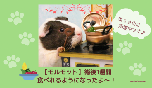 自分から野菜を食べた〜!不正咬合の手術後1週間目のモカちゃん【モルモット】
