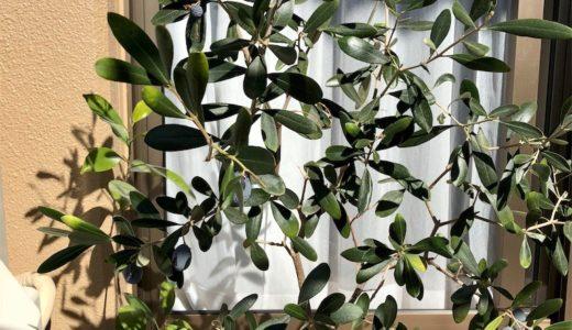 オリーブの木の実