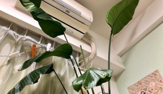 ワイルドすぎる観葉植物 ③・お湯でつけ置き酸素漂白剤