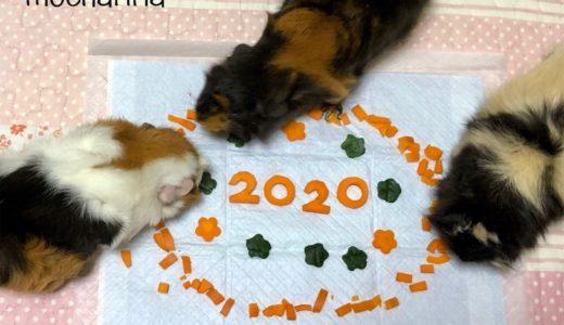 【謹賀新年】2020年子年・ねずみを代表してモルモット親子からご挨拶♬